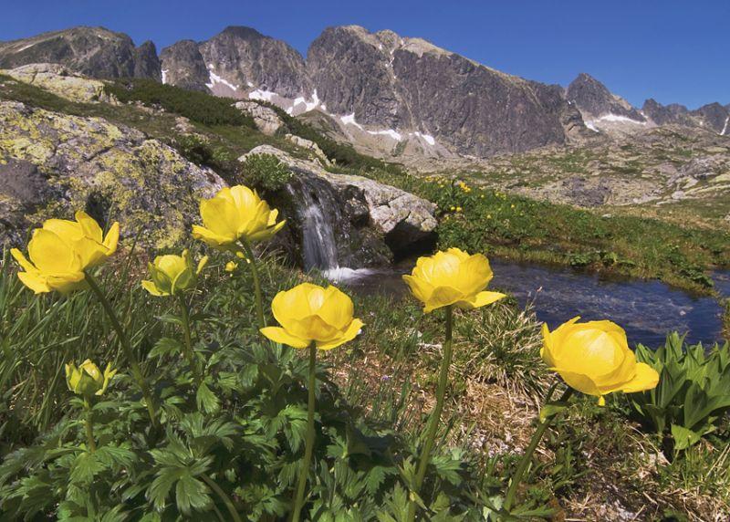 Vysoké Tatry - Žltohlav najvyšší - Trollius altissimus  pod Javorovým štítom vo Ve¾kej Studenej doline.